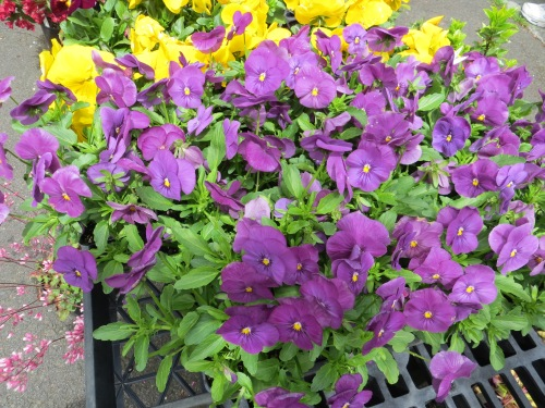 pansies or violas?  Monday's client likes both.