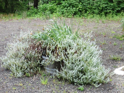 before:  last year's boringly overgrown Helichrysum