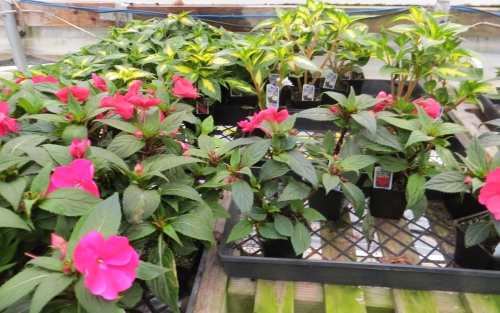 I'm trying a big new impatiens there.