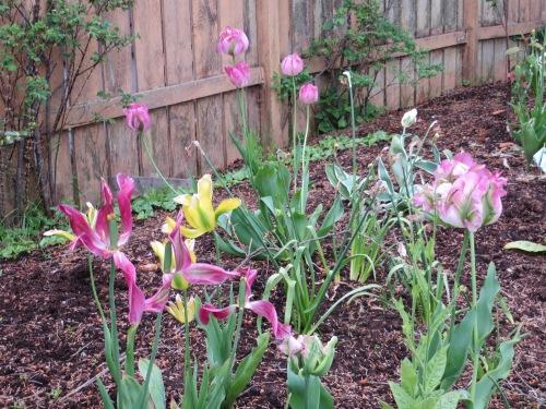 Viridiflora tulips still hanging on