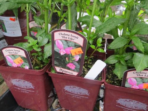 Chelone obliqua...pink turtlehead