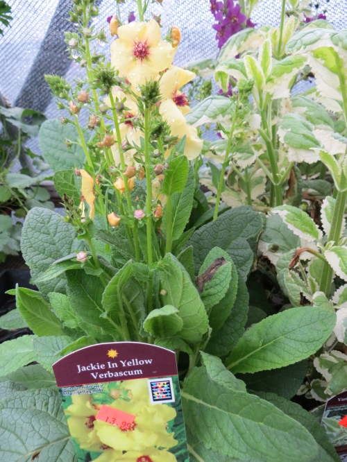 Verbascum 'Jackie in Yellow'