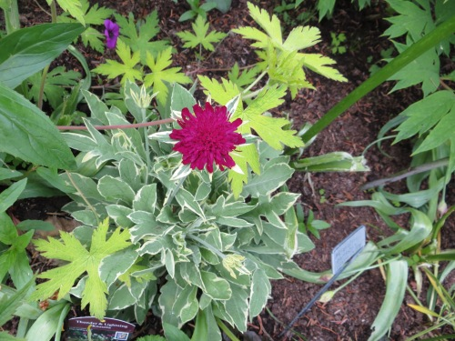 Knautia 'Thunder and Lightning' in bloom!