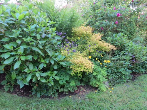 hydrangea and hardy fuchsias