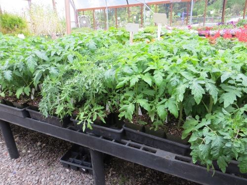 Planter Box tomatoes