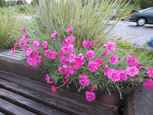Dianthus in a beach approach planter, at least seven years old.