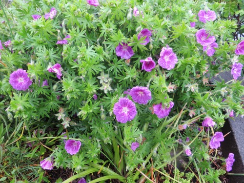 and a hardy geranium