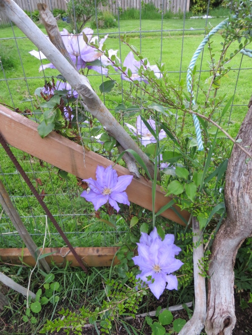 Clematis on east fence...most blooming on my neighbours' side!