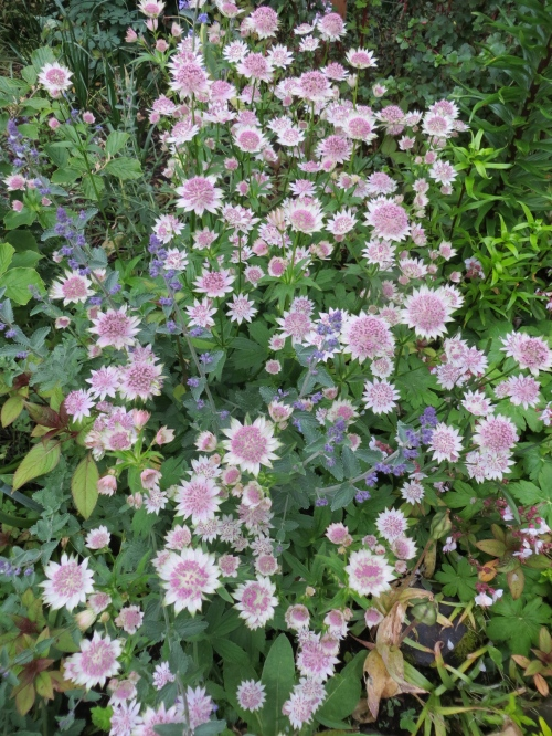 Imagine this astrantia...