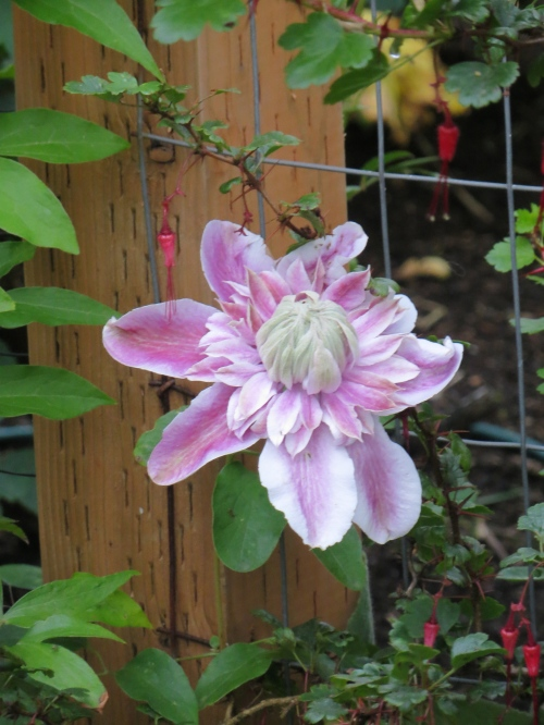 when this clematis that is behind it gets big enough to show above the astrantia.
