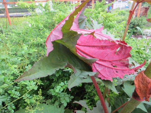 wind battered ornamental rhubarb, like red velvelt