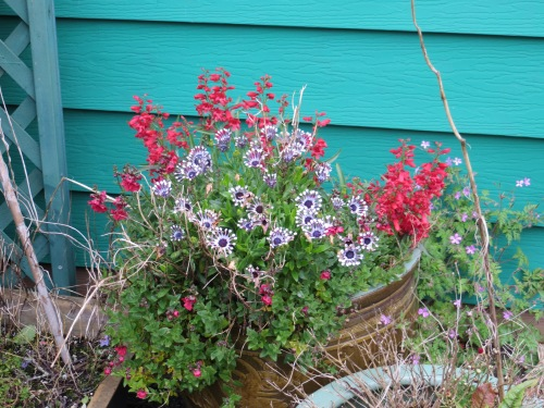 Osteospermum and Penstemon came through the winter in a big pot!