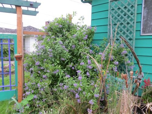Solanum crispum 'Glasnevin', (potato vine)
