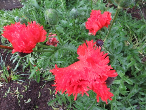 frilly Oriental poppies