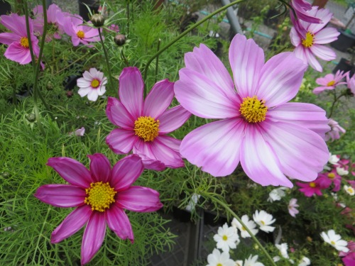 Planter Box Cosmos