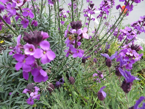 planter detail with Erysimum 'Bowles Mauve'