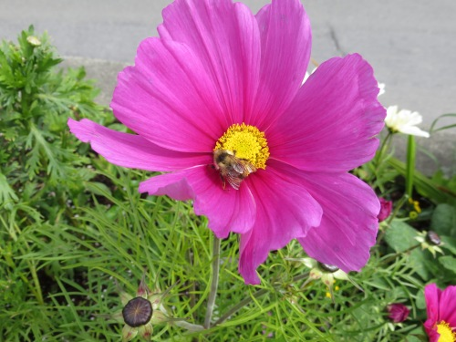Cosmos and Bee