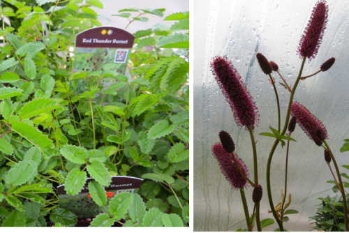 Sanguisorba 'Red Thunder' and another