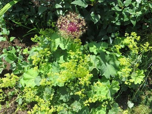 Allium albopilosum and Alchemilla mollis (lady's mantle)