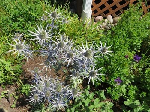 Eryngium 'Sapphire Blue', July 10