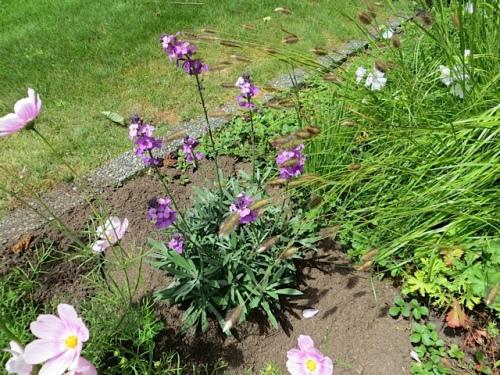 Erysimum 'Bowles Mauve' (a young plant)