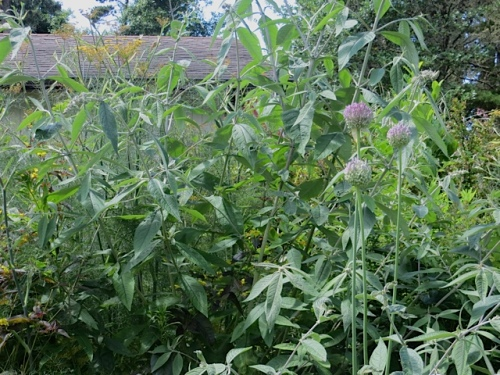 Buddliea (butterfly bush), one of the new sterile non invasive sorts