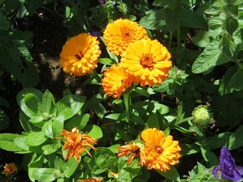 Calendula, another edible annual flower that the deer do not seem to like.