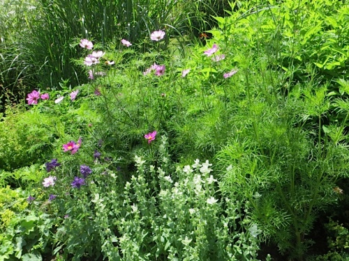 Cosmos with Salvia viridis (painted sage), both annuals