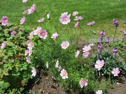 Cosmos 'Happy Ring' and all other cosmos are rarely nibbled by deer.