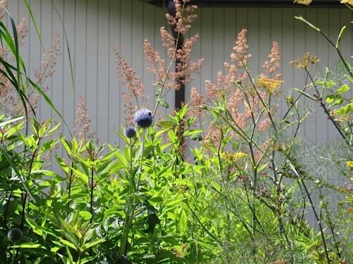 Echinops ritro (blue globe thistle) backed with plume poppy