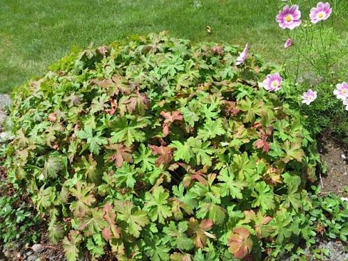 Geranium macrorrhizum, fragrant leaves (smells like pine tree to me), July 10