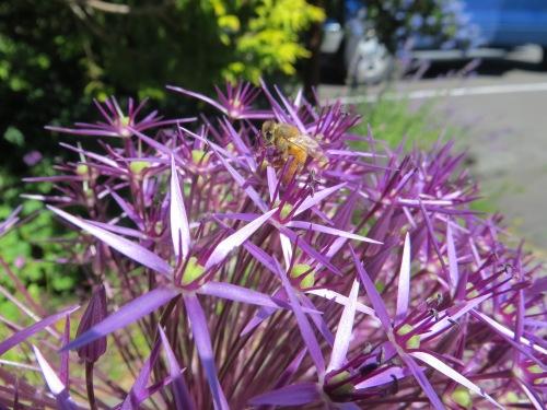 Allium albopilosum in office planter