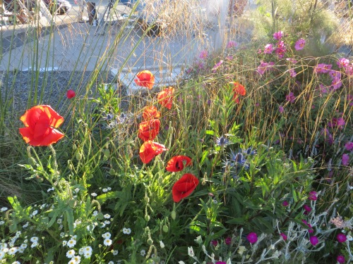 more poppies and Stipa gigantea