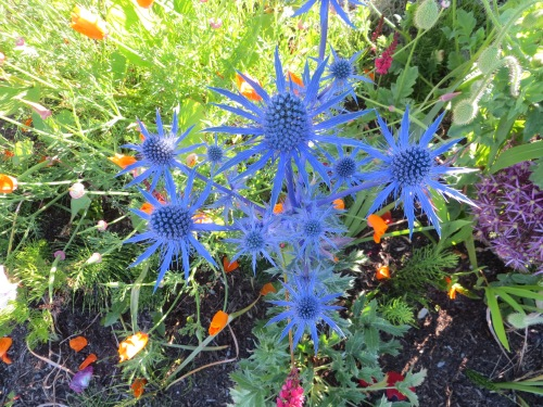 Eryngium 'Sapphire Blue', colour NOT boosted