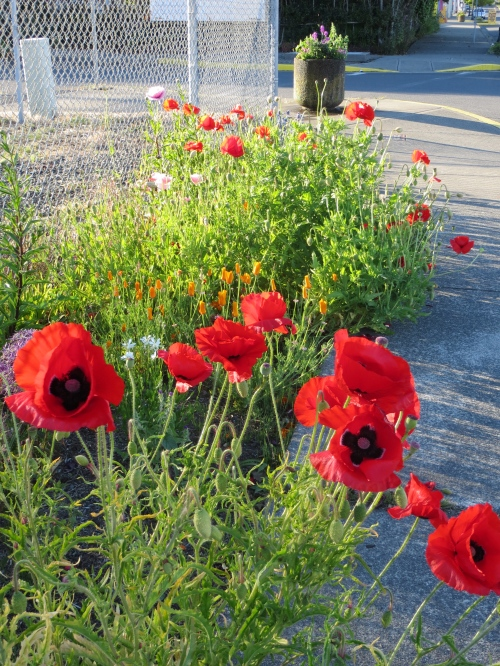 Flanders Field poppies