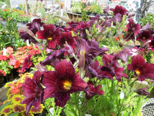 Salpiglossis 'Chocolate'