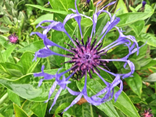 Centaurea montana; I have not had this become a weed...yet.
