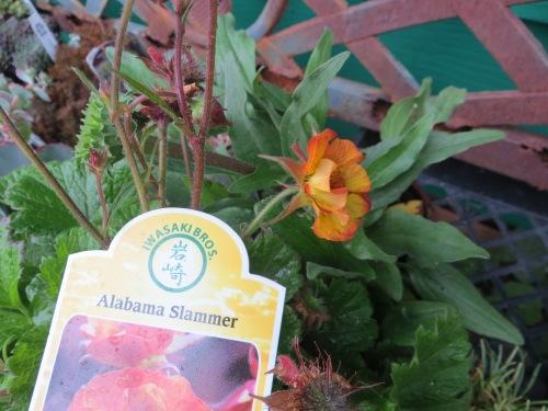 Geum 'Alabama Slammer'