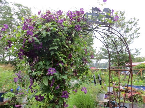 arbour with Clematis 'Etoile Violette'
