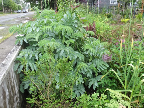 Melianthus major by the sidewalk fence (handy for showing people that the leaves smell like peanut butter!)