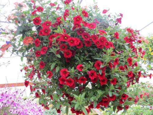 callibrachoa dark red