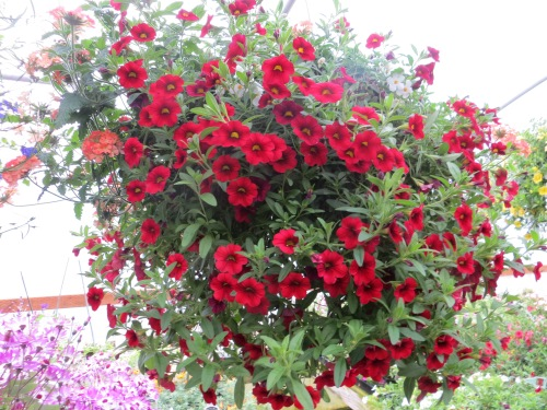 callibrachoa dark red