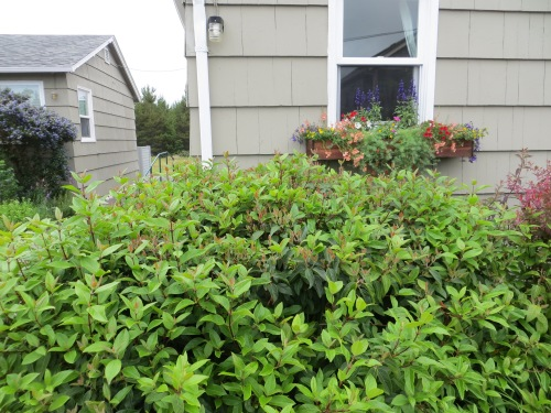 Viburnum and windowbox