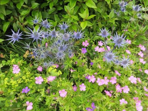 Eryngium 'Sapphire Blue'