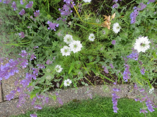 Note:  It would be great to have blue and white Nigella (Love in a Mist) in the Veterans Field garden next year!