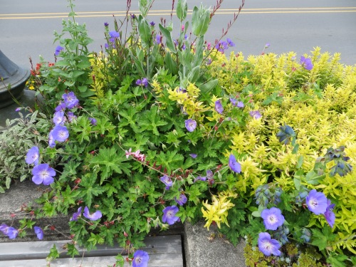 Geranium 'Rozanne' and golden marjoram