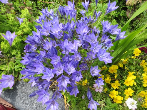 Note:  Plant Brodiaea 'Queen Fabiola' in Vet Field garden.  Great blue for early summer.