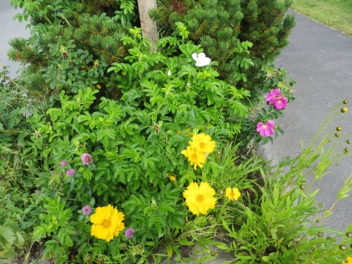 Coreopsis and roses