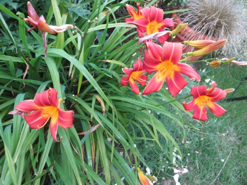 I think this daylily is a keeper.