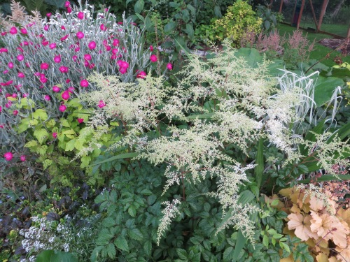 I am loving all my Astilbes.
